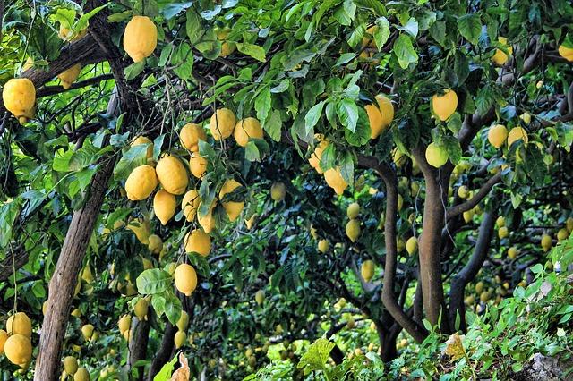 citronový háj